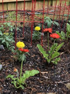Gerber daisies, marigolds and tomatoes